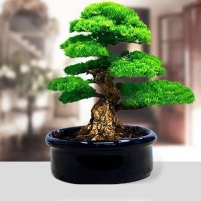 Diğer - Minyatür Bonsai Fıstık Çamı Ekim Kiti